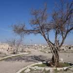 """""""Amman Fig Tree"""" by dalilamontoli"""