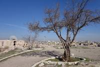 Amman Fig Tree