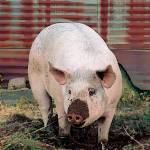 """P14-28RA Pig"" by raBHA2014"
