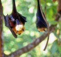 Flying Fox Cleaning