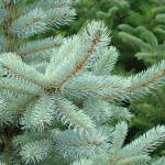 """Blue Spruce Tree branches art prints Conifer Trees"" by BasleeTroutman"
