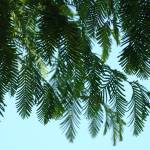 """Blue Sky Pine Tree Branches art prints Conifers"" by BasleeTroutman"