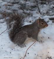 Winter Squirrel copy
