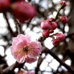 """Spring at Last: the First Plum Blossom"" by AllisonAuer"
