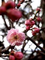 Spring at Last: the First Plum Blossom