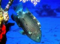 Colourful Wrasse