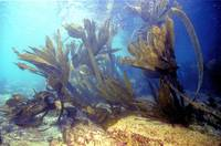 The Remains of the Once Huge Atlantic Kelp Forests
