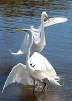 Two Pretty Great Egrets