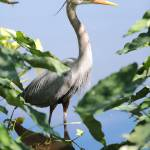 """Hidden Great Blue Heron"" by Groecar"