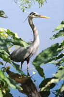 Hidden Great Blue Heron