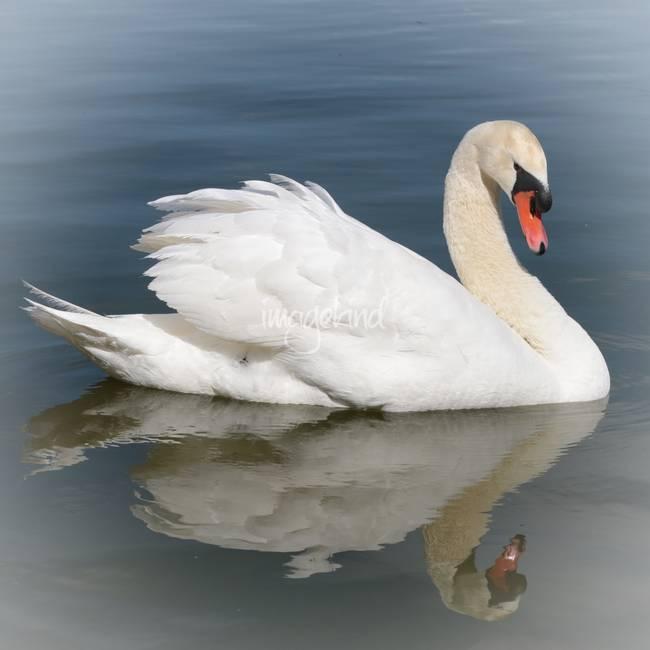 stunning swan artwork for sale on fine art prints. Black Bedroom Furniture Sets. Home Design Ideas