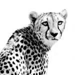 """Cheetah I"" by BethWold"
