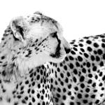 """Cheetah II"" by BethWold"
