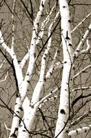 Black & White Birch