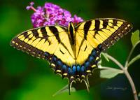 P14-29RA Eastern Tiger Swallowtail Butterfly