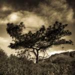 """""""Torrey Pine"""" by zachwsu"""