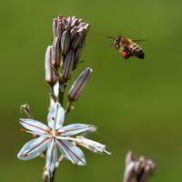 honey bee and white asphodil