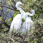 """Swooning Great Egret Pair"" by Groecar"
