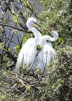 Swooning Great Egret Pair