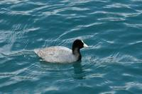 Coot on Lake Cuicocha