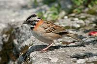 Rufous Collared Sparrow on a Ledge