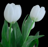 Two White Tulips on a black background
