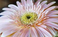 Single Pink Gerbera Daisy, Horizontal