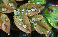 Dew Drops on Heavenly Bamboo Leaves_1833