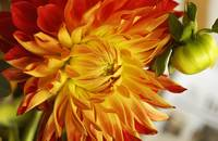 Close Up of Red and Yellow Dahlia