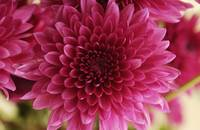 Cluster of Pink Mums, Close-up_2333
