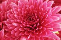 Heart of a Pink Mum_2336
