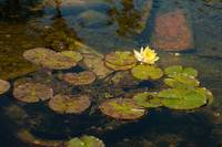Water lily pads-1447