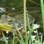 """beady little frog eyes"" by LoraxLady"
