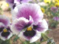 Painted Pansy