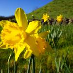 """Daffodil Flowers Green Spring meadow hillside"" by BasleeTroutman"