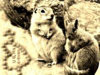ground squirrels forever in love