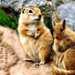 """""""ground squirrels 4 ever in love"""" by bandtdigitaldesigns"""