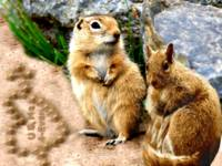 ground squirrels 4 ever in love