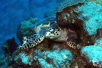 Turtle Sleeping In the Coral