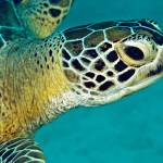 """Green sea turtle portait"" by Triggerfish_Images"