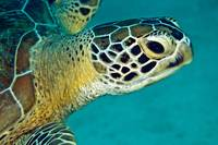 Green sea turtle portait