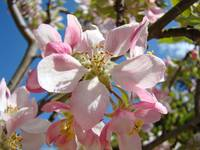 Spring Pink Tree APPLE Blossoms Flowers Springtime