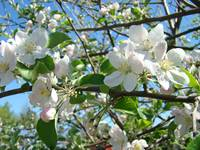 Apple Blossoms Tree Flowers Spring Blue Sky