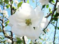 White Apple Blossom Flower Tree Spring Art