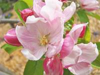 Pink Apple Tree Blossoms Flowers Springtimes