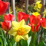 """Spring Daffodils Flowers Garden Red Tulips"" by BasleeTroutman"
