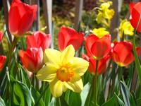 Spring Daffodils Flowers Garden Red Tulips