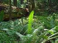 Glowing Forest Fern Redwood Trees Ferns