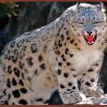 """""""Juvenile Male Snow Leopard"""" by frankreggio"""
