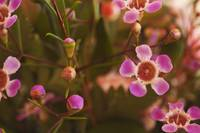 Pink Wax Flowers and Buds_0730